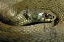 Cobra de colar (Natrix n.).