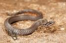 Cobra lagarteira común (Coronella austriaca)