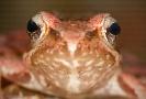 Ra patilonga (Rana iberica)