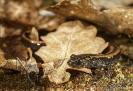 Salamandra rabilarga (Chioglossa lusitanica)