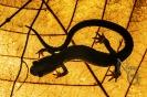 Salamandra rabilarga (Chioglossa lusitanica).