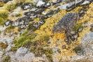 Sapiño corriqueiro (Epidalea calamita)