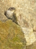 Anduriña dos penedos (Ptyonoprogne rupestris)