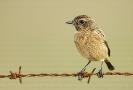 Chasca común (Saxicola torquata)