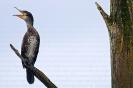 Corvo mariño grande (Phalacrocorax carbo).