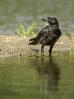 Corvo viaraz (Corvus corone).