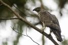 Falcón abelleiro (Pernis apivorus).