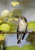 Papamoscas negro (Ficedula hypoleuca)