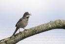 Papuxa común (Sylvia communis)