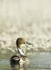 Pato rabilongo (Anas acuta).