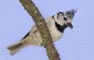 Paxarín gaio (Lophophanes cristatus).