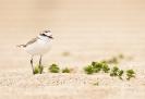 Píllara papuda ou píllara das dunas (Charadrius alexandrinus)
