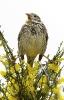 Trigalla (Miliaria calandra)