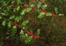Acivro ou xardón (Ilex aquifolium).
