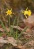 Amarelle (Narcissus asturiensis).