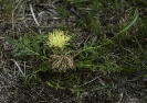 Centaurea ultreiae.