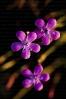 Dianthus langeanus.