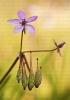 Erodium cicutarium.