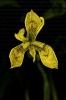 Espadana amarela (Iris pseudacorus).