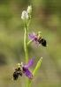 Flor da abella (Ophrys scolopax).