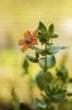 Herba do garrotillo (Anagallis arvensis).