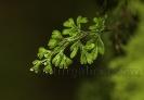 Hymenophyllum tunbrigense.