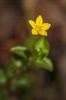 Lysimachia nemorum.