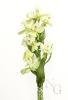 Orquídea marela de dúas pintas (Dactylorhiza insularis).