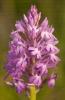 Orquídea piramidal (Anacamptis pyramidalis).