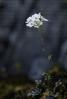 Pritzelago alpina.