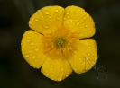 Ranunculus bupleuroides.