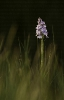 Satirión apincarado (Dactylorhiza maculata).