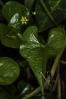 Uvas de can (Tamus communis).