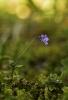 Viola kitaibeliana.
