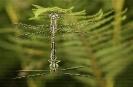 Candil fermoso (Gomphus pulchellus).