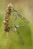 Donceliña de Graells (Ischnura graellsii).