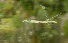 Donceliña de Linden (Erythromma lindenii).