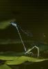 Donceliña pequena (Coenagrion puella).