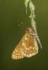 Euphydryas aurinia.