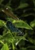Gaiteiro azul (Calopteryx virgo).