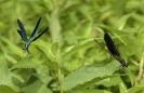 Gaiteiro azul (Calopteryx virgo) e gaiteiro vermello (Calopteryx haemorrhoidalis).