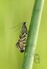Glyphipterix thrasonella.