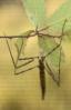 Insecto pau (Leptynia hispanica).