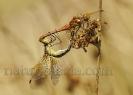 Lavacú azafrán (Sympetrum flaveolum).
