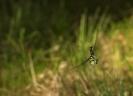 Libeliña de cu azul (Aeshna cyanea).