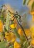 Libeliña peluda (Brachytron pratense).