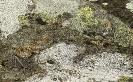 Cobra lagarteira meridional (Coronella girondica).