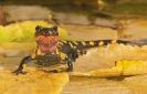 Pinta (Salamandra s.).