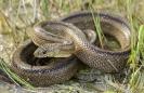 Serpe riscada (Rhinechis scalaris).