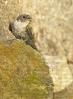 Anduriña dos penedos (Ptyonoprogne rupestris).